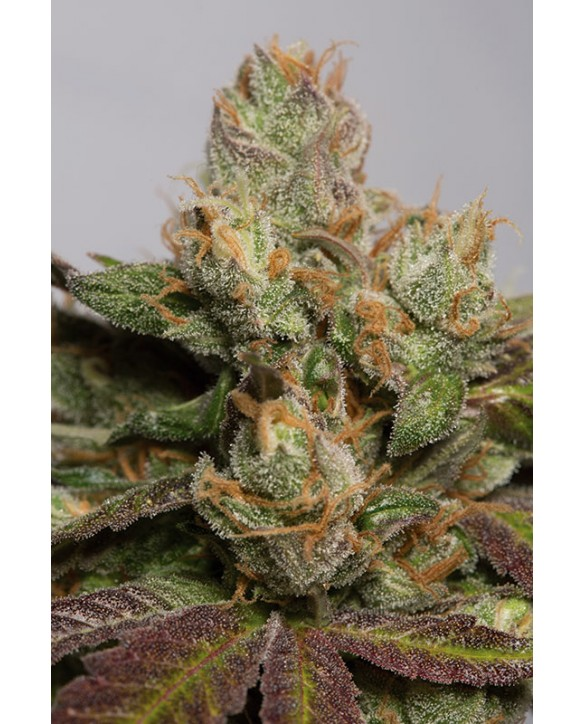 copy of Humboldt Seeds Amherst Sour Diesel 3x