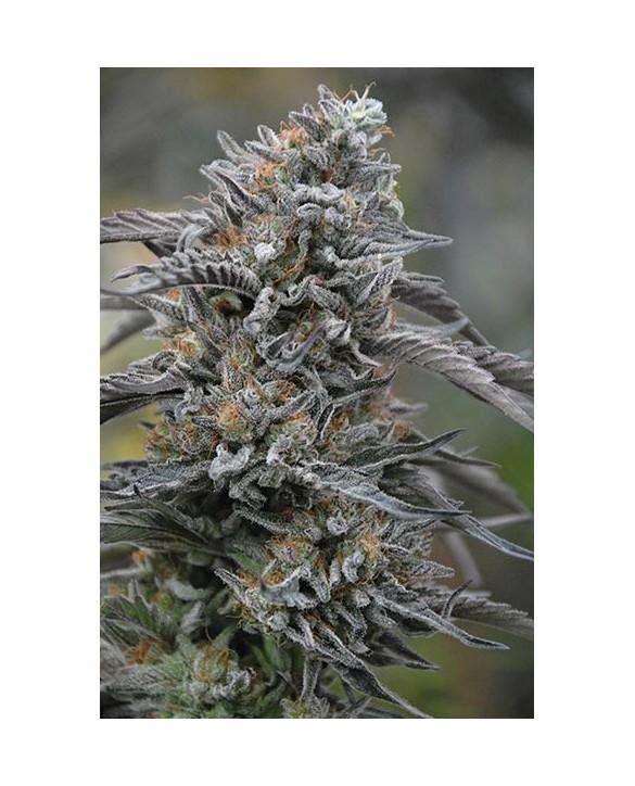 Humboldt Seeds Black D.O.G.