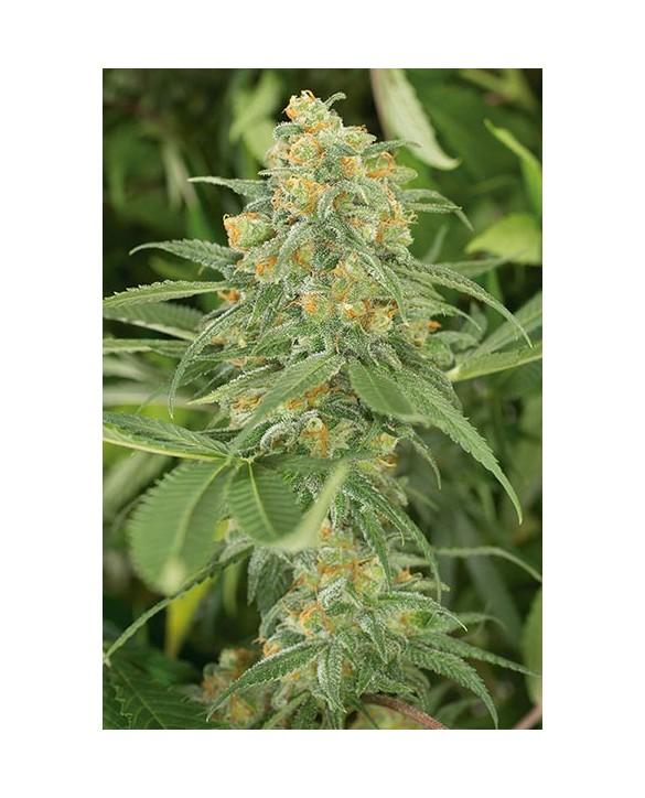 copy of Humboldt Seeds Black D.O.G. 3x