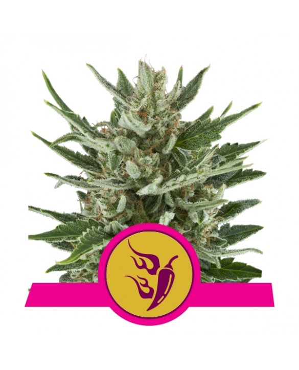 copy of Bulkseedbank CBD Good Wild Shark